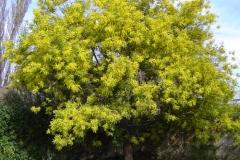 Silver-Wattle-Tree