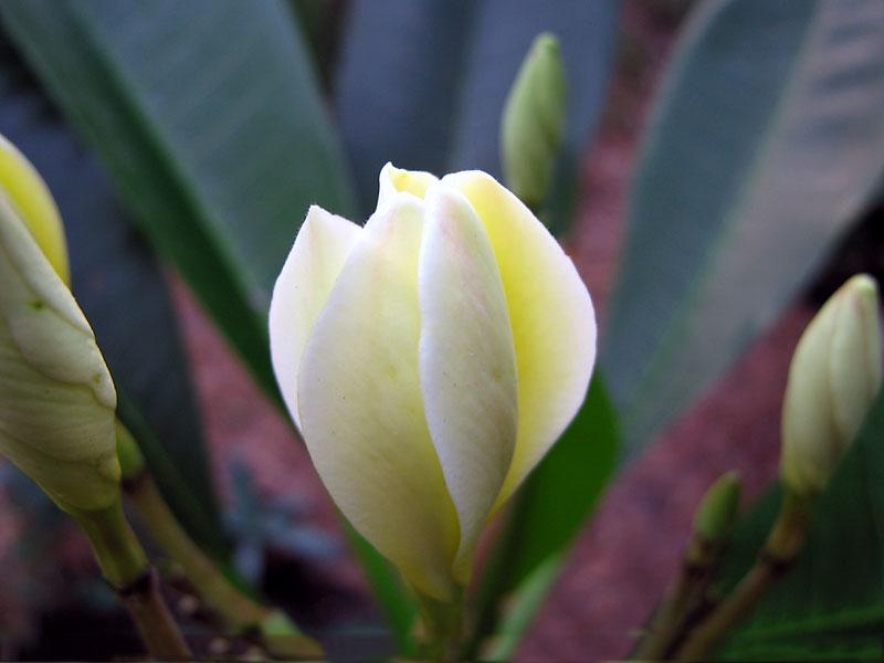 Buds-of-Singapore-Plumeria-plant