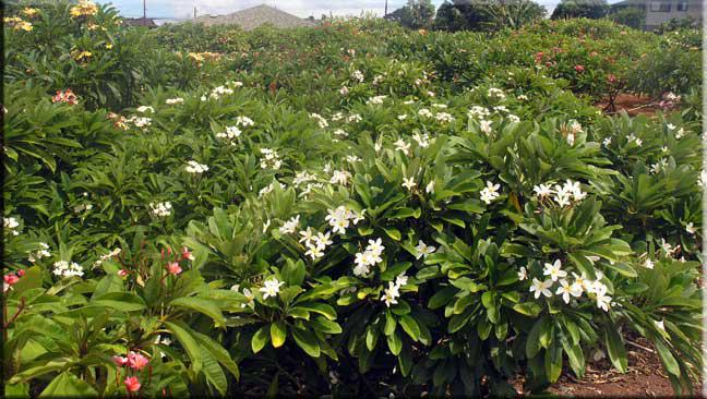 Singapore-Plumeria-plant-growing-wild