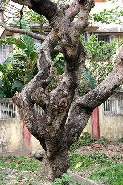 Trunk-of-Singapore-Plumeria