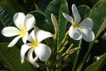 Flowers-of-Singapore-Plumeria