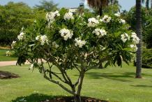 Singapore-Plumeria--Plant