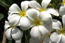 Closer-View-of-Singapore-Plumeria--flower