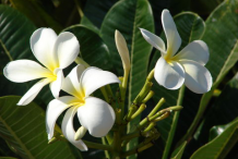 Flowers-of-Singapore-Plumeria