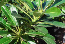 Leaves-of-Singapore-Plumeria