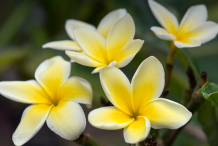 Other-Varieties-of-Plumeria