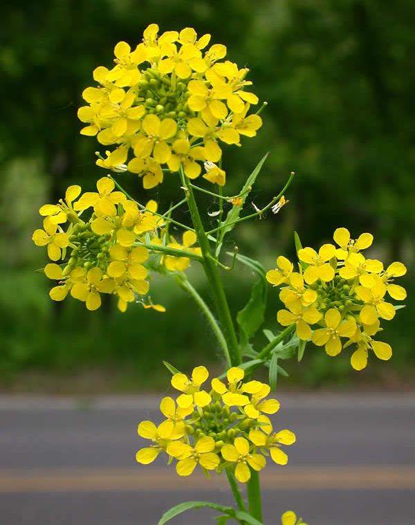 Sisymbrium-flower