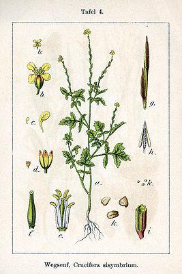 Sisymbrium-plant-illustration