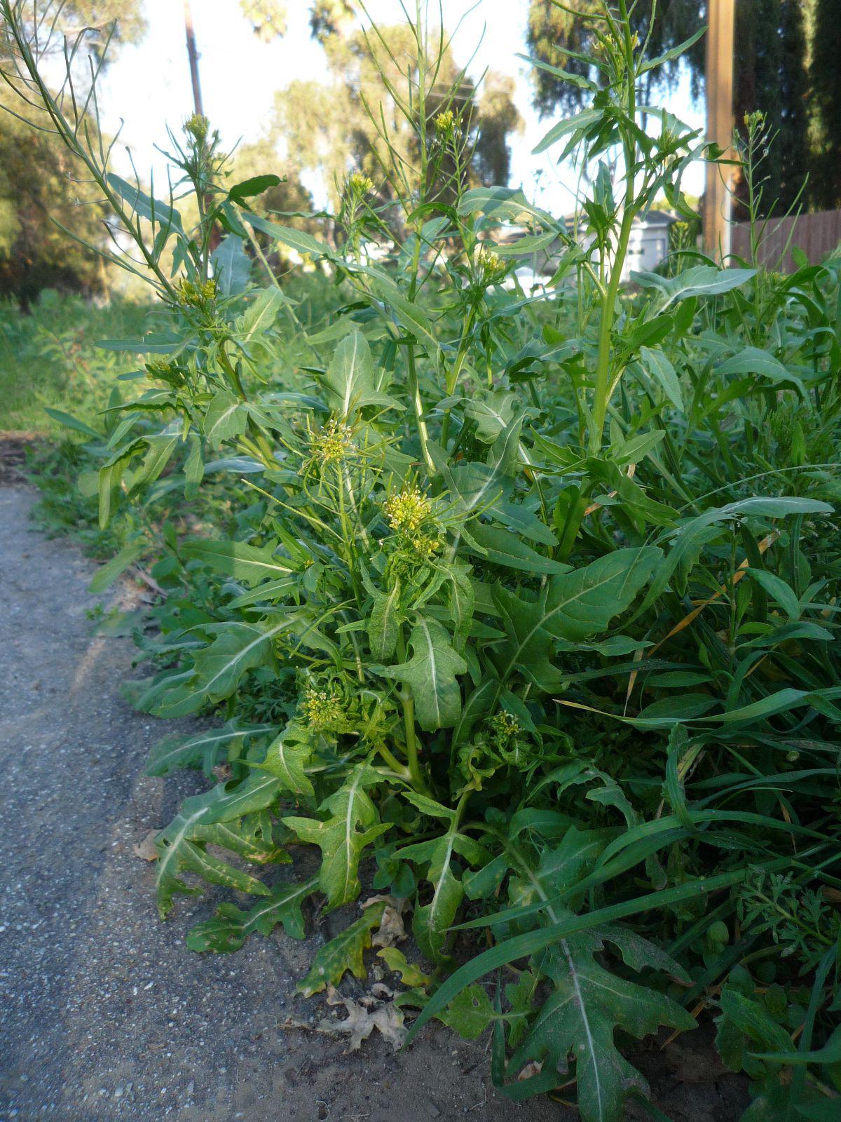 Sisymbrium-plant