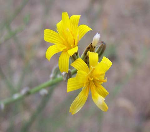 Closer-view-of-flower-of-Skeleton-weed