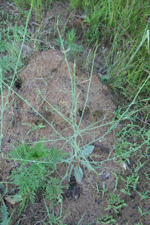 Skeleton-weed-Plant