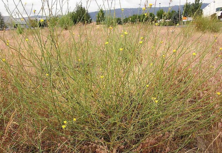 Skeleton-weed-growing-wild