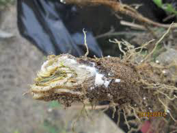 Skeleton-weed-latex-in-the-root