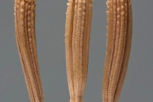 Achenes-of-Skeleton-weed