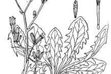 Sketch-of-Skeleton-weed