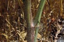 Stem-of-Skeleton-weed