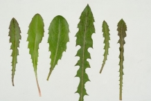 Leaves-of-Skeleton-weed-in-different-shapes