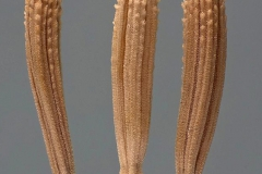 Achenes-of-Skeleton-weed