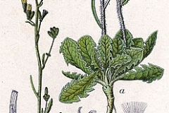 Plant-Illustration-of-Skeleton-weed