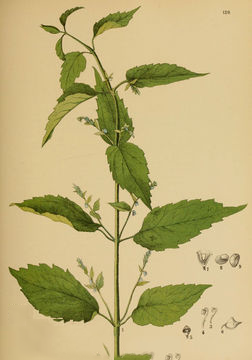 Skullcap-Plant-Illustration
