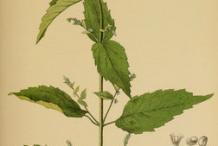 Skullcap-Plant-Illustration