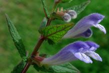 Skullcap-Flower