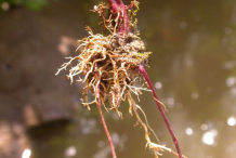 Skullcap-Roots