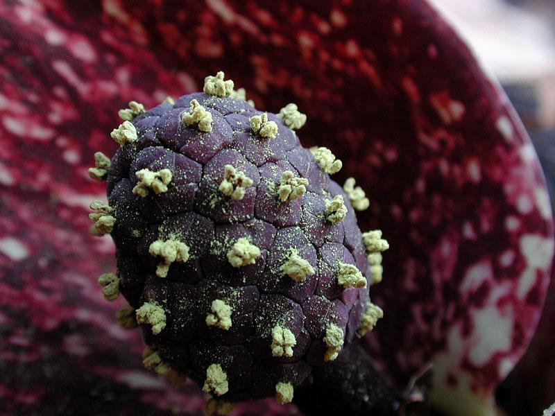 Closer-view-of-Skunk-cabbage-flower