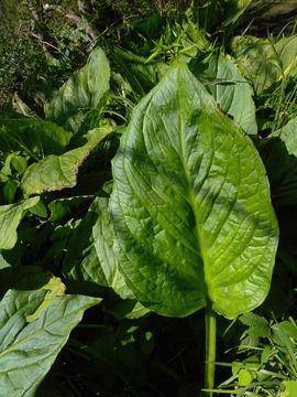 Leaf-of-Skunk-Cabbage-plant