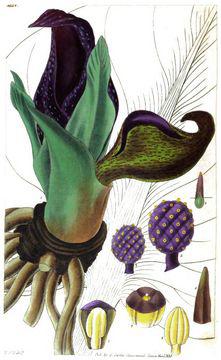 Skunk-Cabbage-plant-Illustration