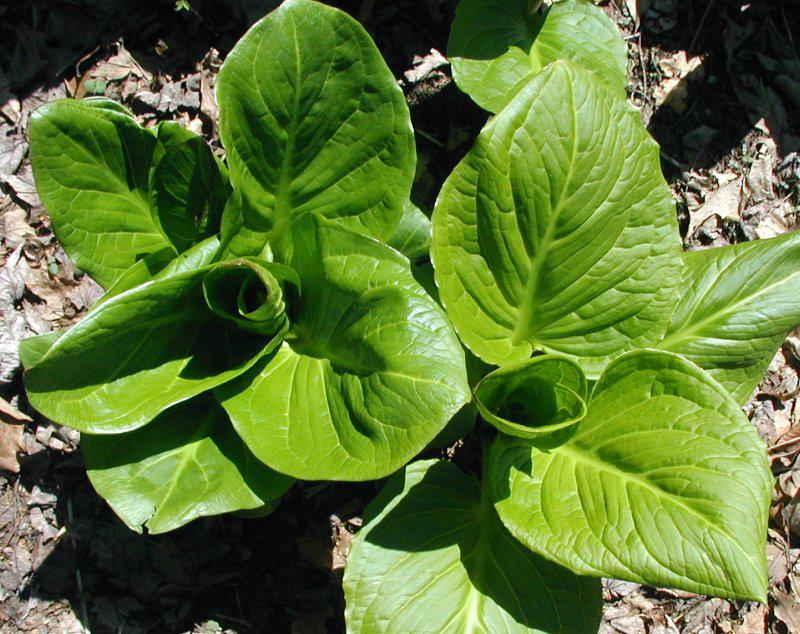 Skunk-Cabbage-showing-broad-leaves