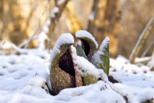 Skunk-cabbage-growing-in-snow