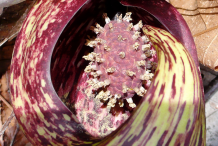 Spathe of Skunk-cabbage plant-with-flower
