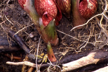 Roots-of-Skunk-cabbage-Plant