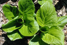 Skunk-Cabbage-showing-broad-leaves