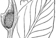 Skunk-Cabbage-sketch