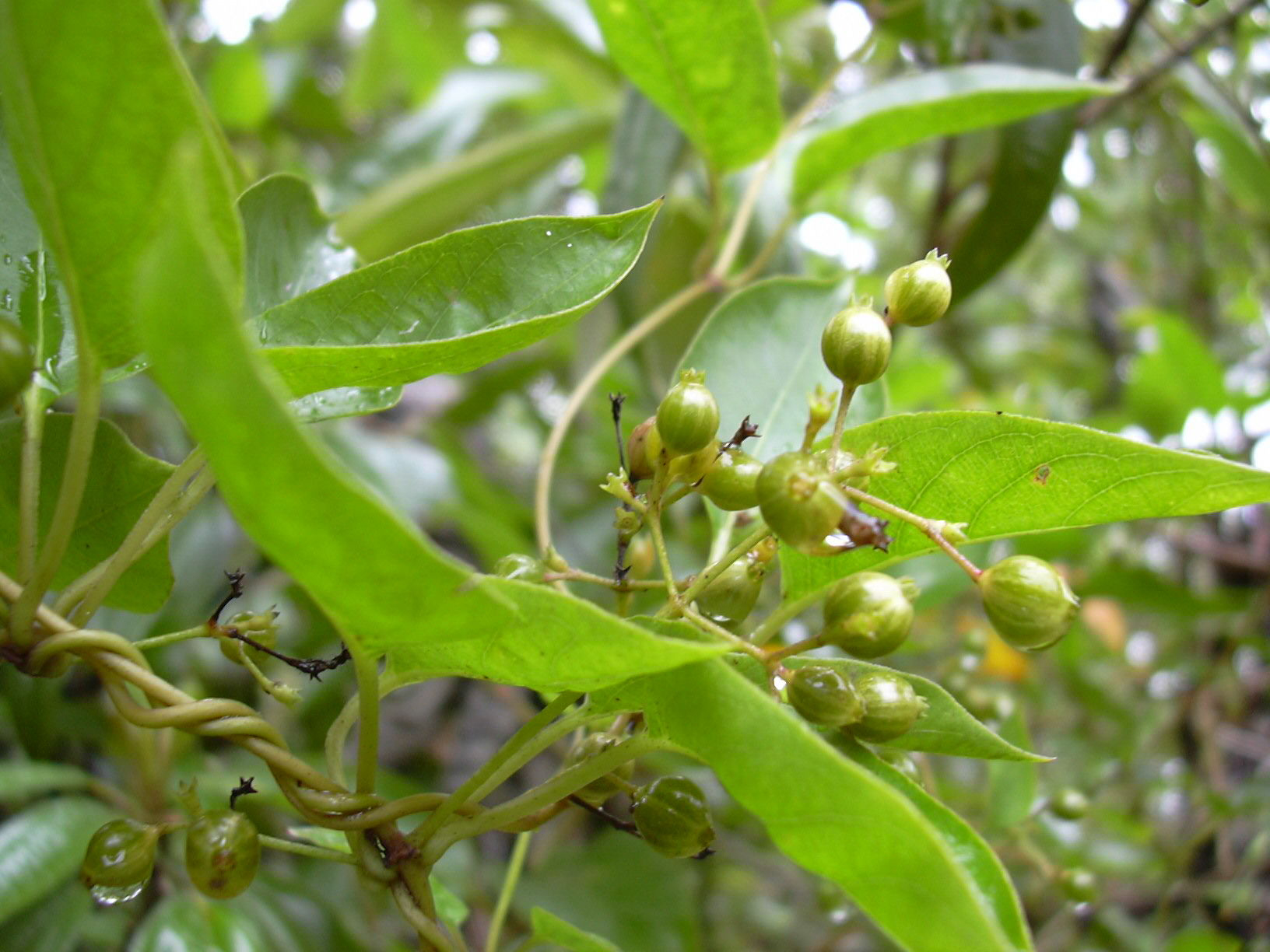 Unripe-fruits