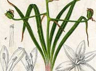 Plant-Illustraton-of-Star of Bethlehem plant