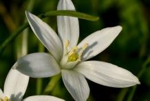 Flower-of-Star of Bethlehem plant