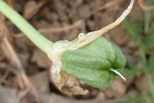 Fruit-of-Star of Bethlehem plant