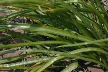 Leaves-of-Star of Bethlehem plant