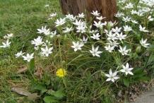 Star of Bethlehem plant-plant-growing-wild