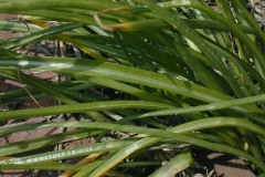 Leaves-of-Star of Bethlehem plant