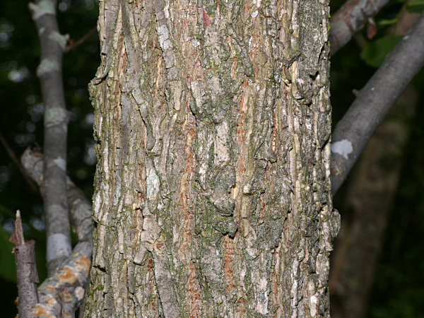 Bark-of-slippery-Elm