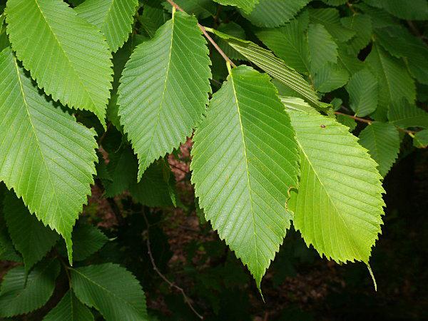 Leaves-of-Slippery-Elm