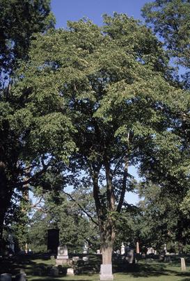Mature-Slippery-Elm-tree