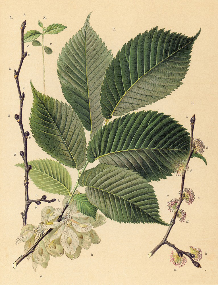 Plant-illustration-of-Slippery-Elm