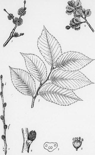 Sketch of slippery elm