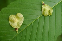 Fruits-(Samara)-of-Slippery-Elm
