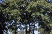 Mature-Slippery-Elm-tree